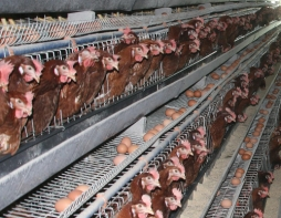 battery-hens-in-cages